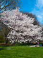 Children playing under a blossoming tree, Central Park, NYC.jpg