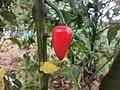 Chili pepper plant.jpg