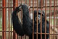 Chimpanzee in a cage.jpg