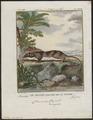 Chironectes variegatus - 1700-1880 - Print - Iconographia Zoologica - Special Collections University of Amsterdam - UBA01 IZ20300136.tif