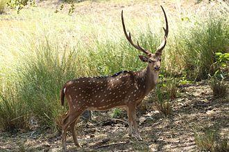 Deer - Chital deer in Nagarahole, India