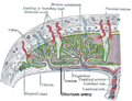 Chorionic artery.png