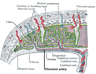 Chorionic vessels - Vasculature of the placenta, with a chorionic artery labeled in .