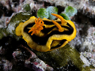 """Respiratory system of gastropods - The dorid nudibranch Chromodoris joshi has a rosette of gills far back on the body. Nudibranch means """"naked gills"""". Near the front of the animal are the two rhinophores."""