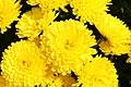 Chrysanthemum Lisa 0zz.jpg