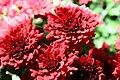 Chrysanthemum Raquel 4zz.jpg