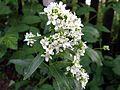 Chrzan pospolity - kwiat (3).jpg