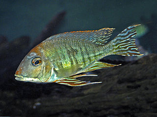 <i>Geophagus</i> genus of cichlids that mainly live in South America