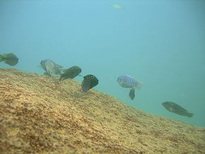 Cichlids in the wild - DSCN1965.jpg