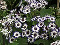 Cineraria from Lalbagh flower show Aug 2013 8224.JPG