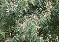 Cinnamomum iners crown.jpg