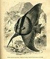 Circular Batfish (16312787036).jpg