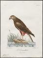 Circus ranivorus - 1796-1808 - Print - Iconographia Zoologica - Special Collections University of Amsterdam - UBA01 IZ18300191.tif