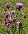 Cirsium heterophyllum 5 RF.jpg