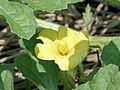 Citrullus lanatus1SHSU.jpg