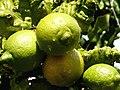 Citrus (3040798490).jpg