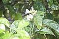 Citrus aurantium-2203.jpg