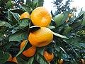 Citrus unshiu 20101127 b.jpg
