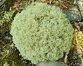 Cladonia subtenuis - Flickr - pellaea (5).jpg