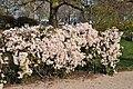 Clematis 'Apple Blossom' in the Jardin des Plantes de Paris 003.JPG