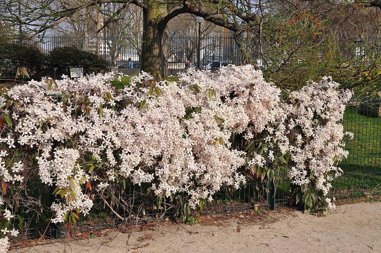 File clematis 39 apple blossom 39 in the jardin des plantes de for Jardin 5e paris