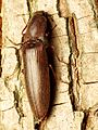 Click Beetle - Flickr - treegrow (6).jpg