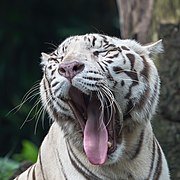 Close-up view of the head of a white tiger, yawning with the tongue out.jpg