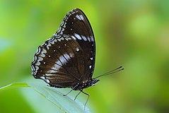 240px close wing position of hypolimnas bolina linnaeus, 1758 %e2%80%93 great eggfly kamalpur