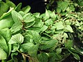 Closeup of basil for sale.jpg