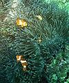 Clownfishes, Mabini Batangas - panoramio.jpg