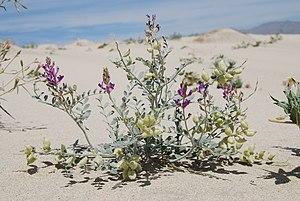 Astragalus lentiginosus - A. l. var. coachellae