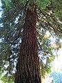 Coast Redwood Tree (11348744193).jpg