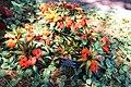 Coastal Georgia Botanical Gardens, Variegated New Guinea Impatiens hawkeri 'Painted Paradise Orange'.jpg