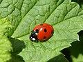 Coccinella septempunctata Piazzo 01.jpg
