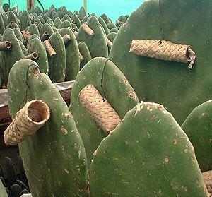 Carmine - Zapotec nests on Opuntia ficus-indica host cacti