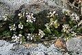 Cochlearia danica Crozon 060416w.jpg