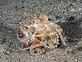 Coconut octopus (Amphioctopus marginatus) (42825525034).jpg