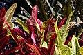 Codiaeum variegatum 36zz.jpg