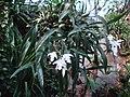 Coelogyne cristata (BG Zurich)-04.JPG