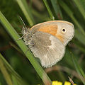 Coenonympha-tullia-001.jpg