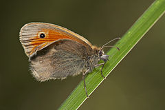 Coenonympha pamphilus bottom MichaD.jpg