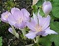 Colchicum byzantinum Flowers BotGardBln0906a.jpg