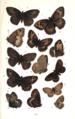 Colemans British Butterflies Plate VI.png