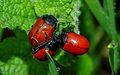 Coleoptera sp. (8067218284).jpg
