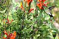 Colibri • Steely-vented Hummingbird.jpg