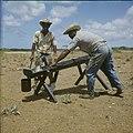 Collectie Nationaal Museum van Wereldculturen TM-20029655 Twee mannen die aloe persen Bonaire Boy Lawson (Fotograaf).jpg