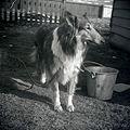 Collie Honey Stephenville NFLD 1962 03.jpg