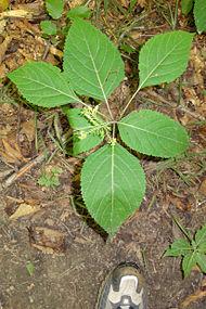 Collinsonia canadensis SCA-04218-v.jpg