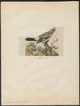 Collyrio excubitor - 1833-1839 - Print - Iconographia Zoologica - Special Collections University of Amsterdam - UBA01 IZ16600369.tif