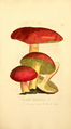 Coloured Figures of English Fungi or Mushrooms - t. 225.png